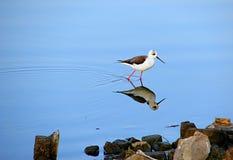 Stilt voado preto Fotografia de Stock Royalty Free