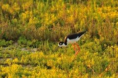 Stilt In Wetlands Royalty Free Stock Image