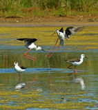 Stilts fight. Ing over the marsh surface Stock Photo