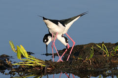 Stilts Preto-necked (mexicanus do Himantopus) Imagem de Stock