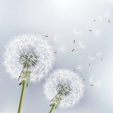 Stilvoller Blumenhintergrund mit zwei Blumen dandeli Stockfoto