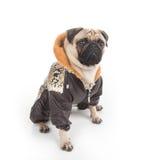 Stilvoller Hund. Stockbild