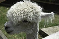 Stilvolles Alpaka Stockfoto