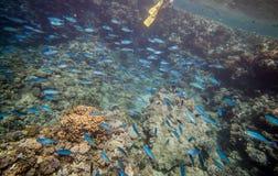 Stim av blåa fiskar Royaltyfri Foto