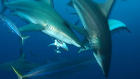 Stim av hajar Arkivbild