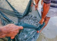 Stimen av whitebait fiskar fångat i ett netto på kanten av havsnollan royaltyfria foton