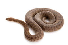 Stimson��s Python Stock Photos