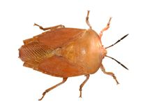 Sting bug Royalty Free Stock Image