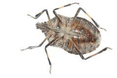 Sting bug Royalty Free Stock Photos