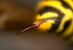 Sting de la avispa Foto de archivo libre de regalías