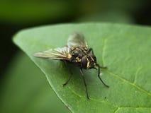 Sting komarnica Obraz Stock
