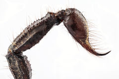 Sting of palamnaeus fulvipes. Sting of black scorpion species palamnaeus fulvipes from Malaysia isolated on white background Royalty Free Stock Images