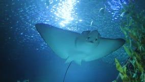 Sting promienia dopłynięcie w akwarium zdjęcie wideo