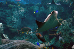 Sting ray stock photo
