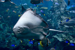 Sting ray Royalty Free Stock Photography