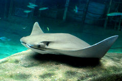 Sting Ray Royalty Free Stock Photos