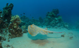 Sting ray Royalty Free Stock Image