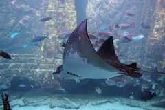 Sting ray stock images