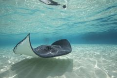 Free Sting Ray Stock Photos - 21717273