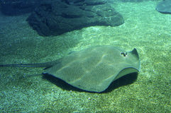 Sting Ray. Ray floating over the ground Royalty Free Stock Photos