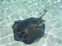 Sting Ray Bahamas Stock Photo