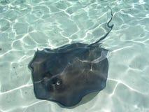 Sting Ray Bahamas. Sting Ray in clear water,  Bahamas Stock Photo