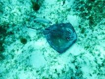 Sting Ray e barra do sul Jack em Sandy Caribbean Sea Bed imagens de stock