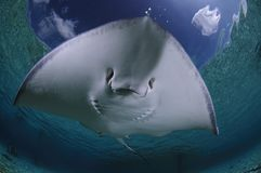 Sting Ray Gliding Over Sandy Bottom of Bahamas stock photo
