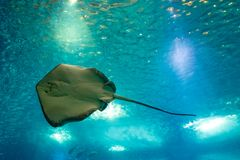 Sting Ray underwater. Sting Ray or Myliobatis aquila, swimming under blue ocean like flying in sky and facing to camera. Eagle Ray is a cartilage fish common in Stock Image