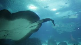 Sting Ray underwater. Sting Ray or Myliobatis aquila, swimming under blue ocean like flying in sky and facing to camera. Eagle Ray is a cartilage fish common in stock video footage