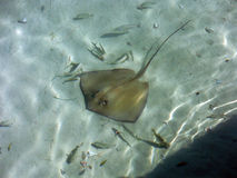 Sting Ray near the Shore of Mexican Caribbean Island Stock Images