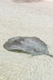 Sting ray Stock Photos