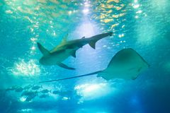 Sting Ray and Shark. Bottom view of a Big Shark and Sting Ray or Myliobatis aquila, swimming under blue ocean. Underwater blue background. Undersea marine life Stock Images