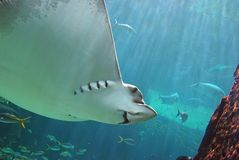 Sting Ray Smiling Underwater. Underside of devil ray in aquarium Stock Photography