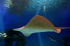 Sting ray swim in Shark Poo in Eilat, Israel. EILAT, ISR - APRIL 16 2015:Sting ray swim in the Shark Pool of Coral World Underwater Observatory aquarium in Eilat Stock Photo