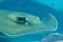 Sting ray swimming. A sting ray swims through the water Royalty Free Stock Photo