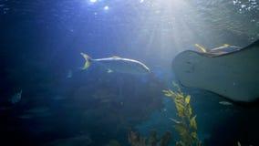 Sting ray swimming in aquarium. Sting ray swimming in oceanarium stock video footage