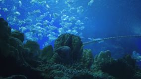 Sting ray swimming in aquarium. Sting ray swimming in oceanarium stock video