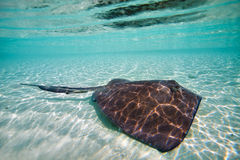 Sting ray. Swimming in shallow water Stock Image