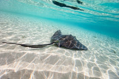 Sting ray. Swimming in shallow water Royalty Free Stock Photography