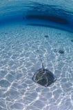 Sting Ray Swimming su Sandy Bottom delle Bahamas Fotografia Stock