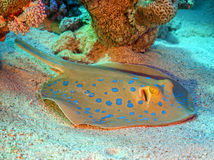 Sting ray under coral Royalty Free Stock Image