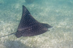 Sting ray. Underwater close up of a sting ray of the coast of Belize Royalty Free Stock Image