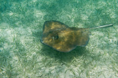 Sting ray. Underwater close up of a sting ray of the coast of Belize Stock Photo