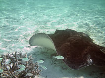 Sting Rays Royalty Free Stock Images