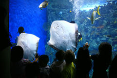 Sting Rays in a Giant Aquarium With Children Watch Royalty Free Stock Image