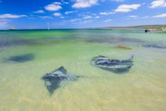 Sting rays in Hamelin Bay. Group of Big Australian Eagle Ray close to shore in Hamelin Bay, Margaret River Region, Western Australia. Hamelin Bay is one of the Stock Images