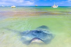 Sting rays in Hamelin Bay. Spectacular landscape of Hamelin Bay in Margaret River Region, WA. Big Australian Eagle Ray close to shore. Hamelin Bay is one of the Stock Image