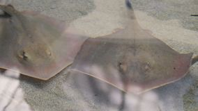 Sting rays and a sand shark. Gliding in shallow water stock video