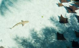 Sting rays and a young shark swimming together. Bright sunny day for many sting rays and a young shark swimming together in the warm water of the Bahamas stock images